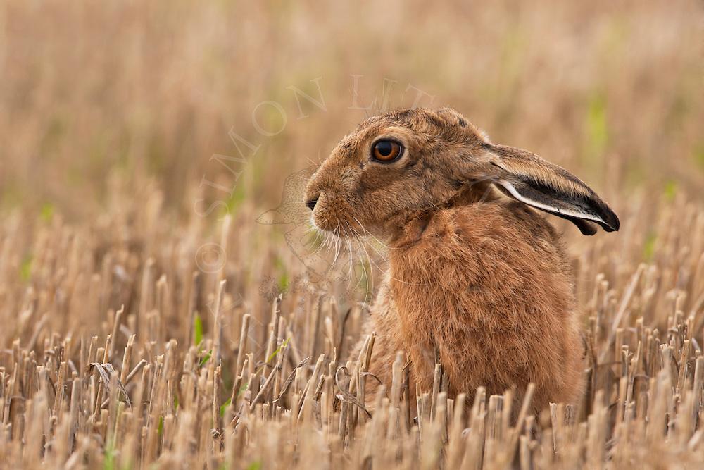 European Hare (Lepus europaeus) adult in stubble field, Norfolk, UK.