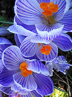 Close-up of beautiful blue crocuses.