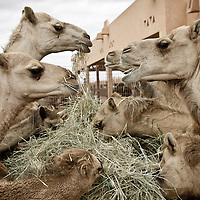 Al-Ain (Abu Dhabi), United Arab Emirates 04 April 2009.Camel souk..PHOTO: EZEQUIEL SCAGNETTI