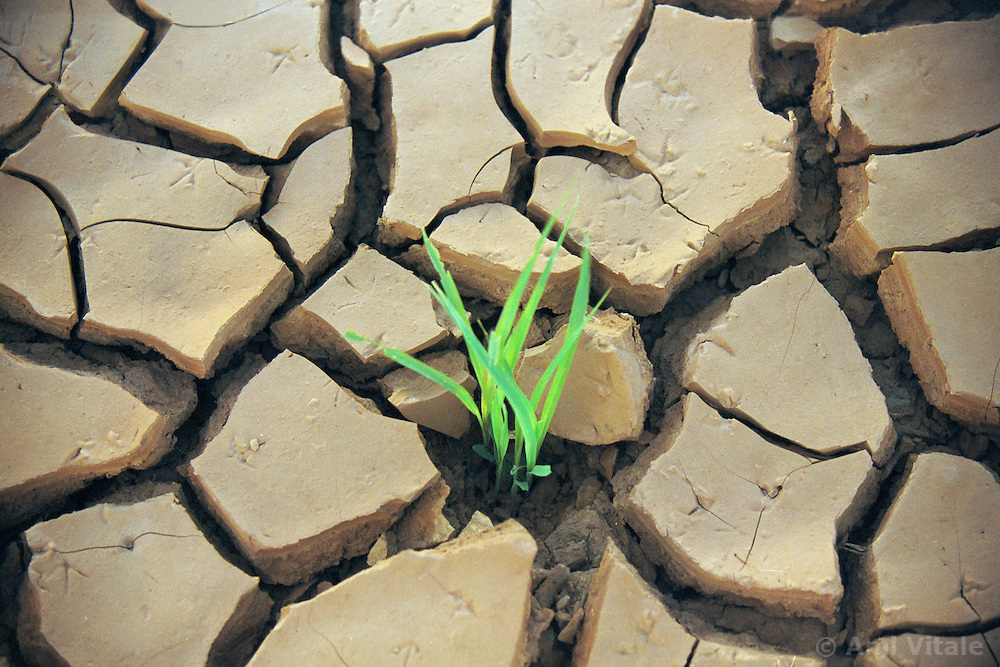 A young sorghum seed struggles to grow in the region of Affole in Mauritania where farmers who were once nomads built a dam.  Successive droughts and the attractions of settled life have reduced that figure of nomadic herders to about 10%. Almost half of Mauritanians live in the capital, Nouakchott, which was no more than a coastal village fifty years ago. (Photo by Ami Vitale)