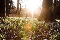 © Licensed to London News Pictures 28/01/2016, Cheltenham, UK. Sunshine bathes Colesbourne Park's Snowdrop collection, near © Licensed to London News Pictures 28/01/2016, Cheltenham, UK. Sunshine bathes Colesbourne Park's Snowdrop collection, near Cheltenham, UK. The Park opens its doors to the public this weekend January 30th. The Park contains over 250 rare and unusual varieties of snowdrop and is considered to be England's greatest snowdrop garden.