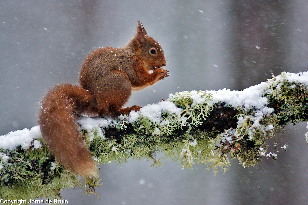A Red Squirrel sits on a snowy branch eating a nut in the forest of the Cairngorms National Park in Scotland
