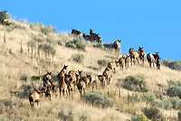 The middle of September and this Bull Elk move his large herd of cow elk up a hillside and into a large canyon where they will be safe for the day.