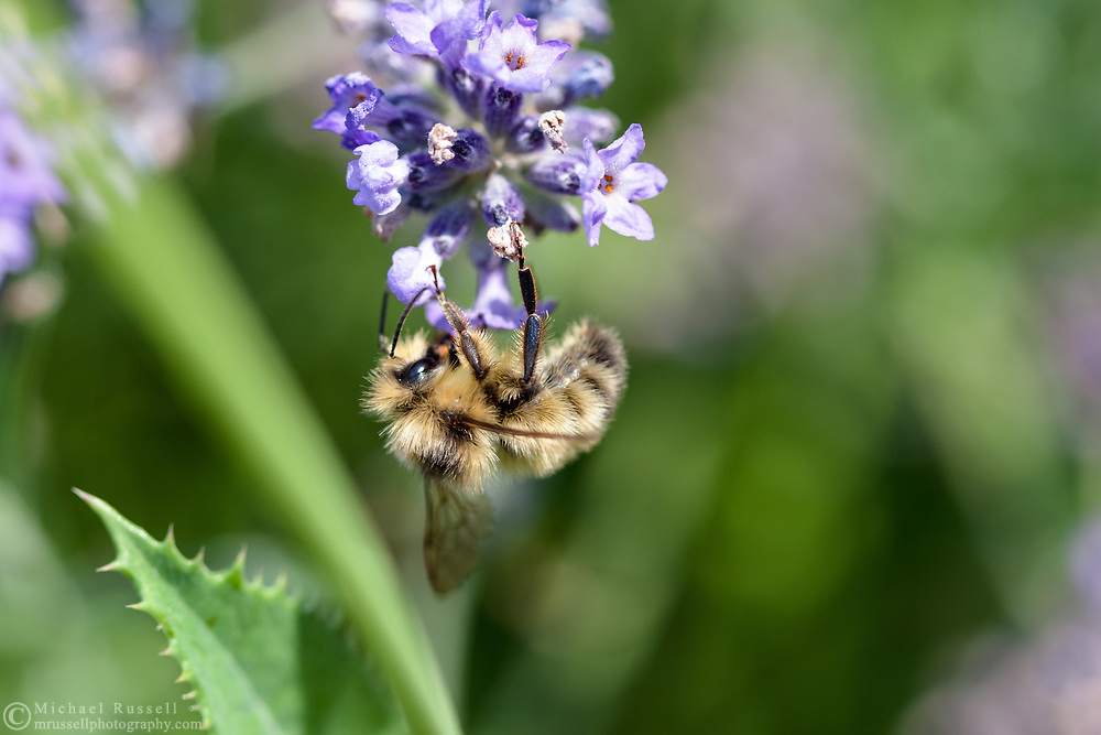 A Bumblebee (Genus: Bombus) hangs upside down while gathering pollen on a Lavender Flower in the Fraser Valley of British Columbia, Canada.