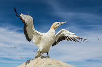 Cape Gannet Wing Flapping, Malgas Island, Western Cape, South Africa
