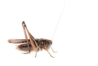 IFTE-NB-007697; Niall Benvie; Platycleis albopunctata grisea; Europe; Austria; Tirol; Fliesser Sonnenhänge; invertebrate arthropod insect grasshopper; horizontal; high key; brown white; controlled; adult; one; upland grassland meadow woodland edge; 2008; July; summer; strobe backlight; Wild Wonders of Europe Naturpark Kaunergrat