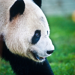Giant Panda's at Edinburgh Zoo