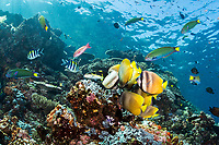 Butterflyfish and Wrasses feed frenzily Damsel eggs <br /> <br /> Shot in Indonesia