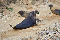 Northern Elephant Seal (Mirounga angustirostris) male with two females on beach at Elephant Seal overlook,  Point Reyes National