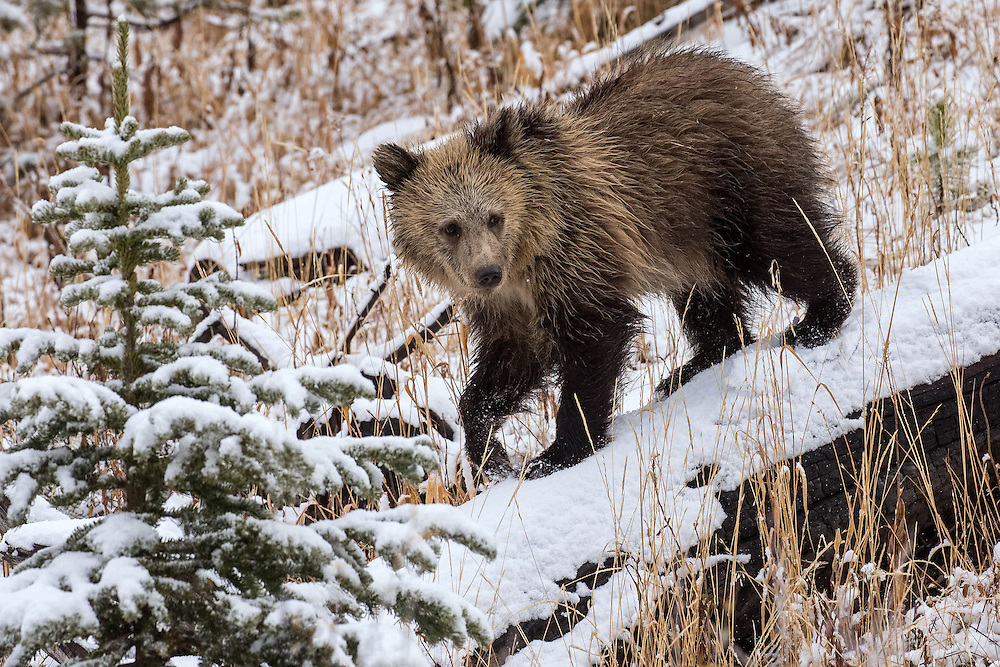 As winter approaches, bears who have been hyperphagic during the late summer and fall will enter a transition period just ptior to denning. During this time, bears begin eating less and become increasingly lethargic, resting 22 or more hours per day, with their heart rate slowing dramatically to ready them for six months of hibernation.