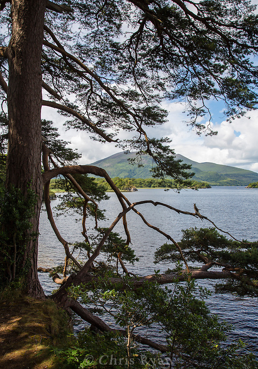 Tree framing Lough Leane and Purple Mountain, Killarney National Park, Ireland