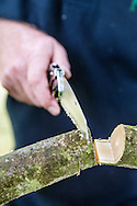 Tony Kirkham using a pruning saw to make a 'Straight Cut' on a Liriodendron chinense (Chinese tulip tree) branch - BEFORE