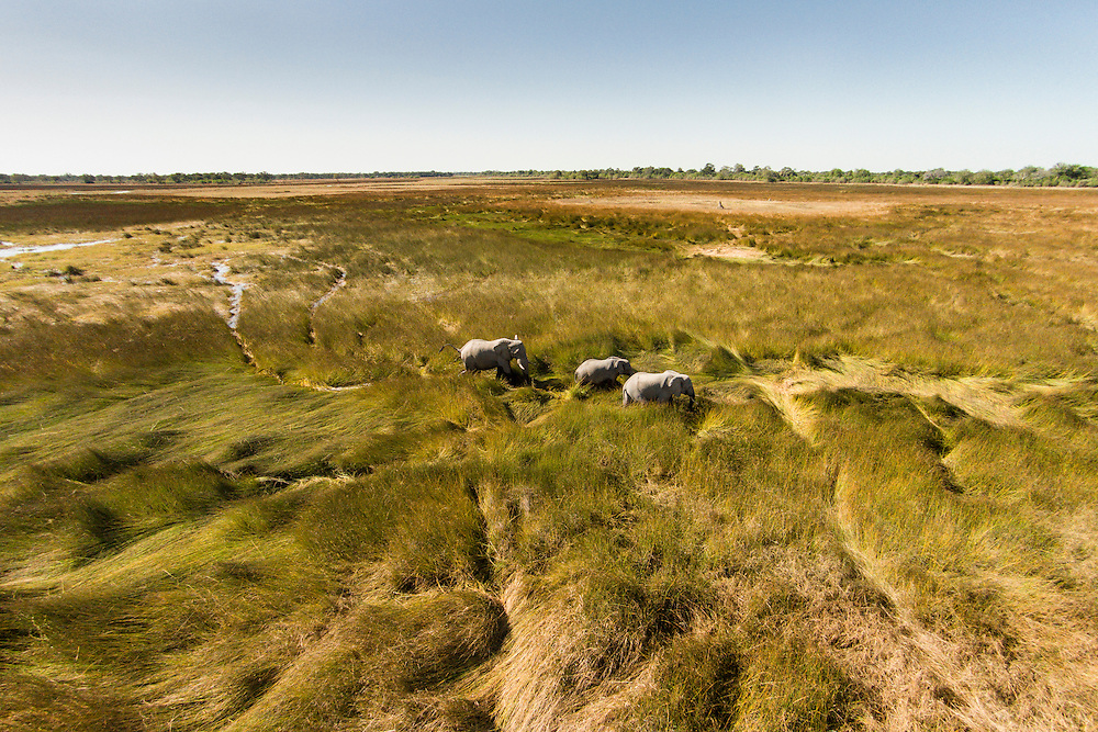 Africa, Botswana, Moremi Game Reserve, Aerial view of Elephants (Loxodonta africana) walking in wetlands in Okavango Delta in Kalahari Desert
