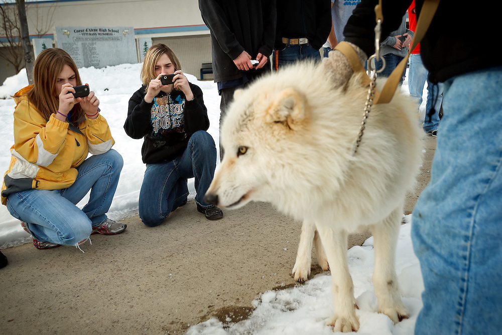 Tayler Damron, 16, left, and Brandi Mason, 17, take photos of a wolf brought into their environmental science class Tuesday at Coeur d'Alene High School. The class is discussing the topic of wolves in Idaho and their impact from several different viewpoints in order to allow the students to form their own opinions and views on the topic of listing or delisting the wolf.