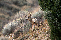 Mule Deer antlers grow in all shapes and sizes this one has thin long antlers which lend to say it is a young buck.