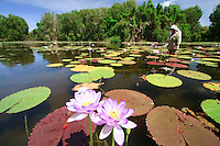 Indigenous ranger Lawrie Booth looks for water plants in a billabong near Mapoon on the west coast of Cape York in far northern Australia..