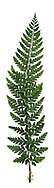 Hard Shield Fern - Polystichum aculeatum
