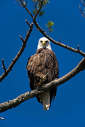 An adult Bald Eagle, Haliaeetus leucocephalus, perched in a white pine above Katahdin Lake near Maine's Baxter State Park.