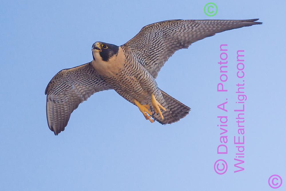 Peregrine falcon in fast flight flight, vocalizing, 2011 David A. Ponton, wildearthlight.com