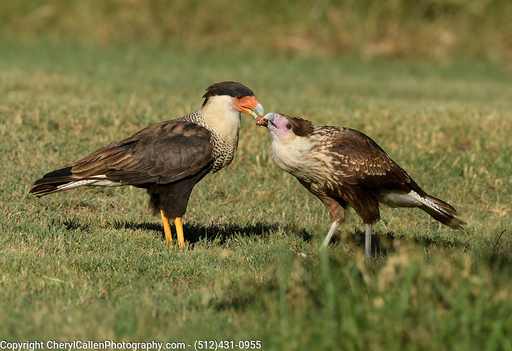 Crested Caracara parent feeding juvenile