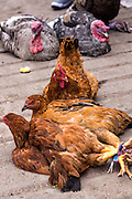 Lives chickens on sale at the Sunday market in Tlacolula de Matamoros, Mexico. The regional street market draws thousands of sellers and shoppers from throughout the Valles Centrales de Oaxaca.