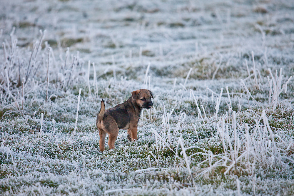 Border terrier puppy taking a stroll in winter landscape, The Cotswolds, UK