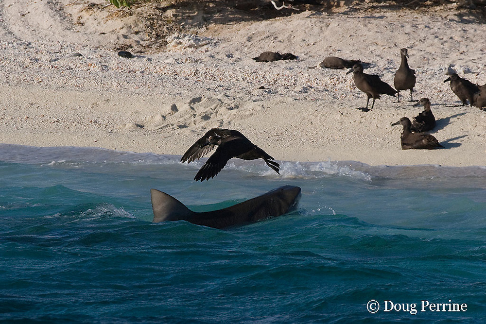 tiger shark, Galeocerdo cuvier, makes unsuccessful lunge at fledgling black-footed albatross chick, Phoebastria nigripes, at beach where the chicks gather to prepare to take their first flight, East Island, French Frigate Shoals, Papahanaumokuakea National Monument, <br /> Northwest Hawaiian Islands ( Central Pacific Ocean ) #3 in sequence of 3