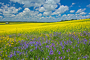 Canola crop and wild vetch flowers in bloom<br />