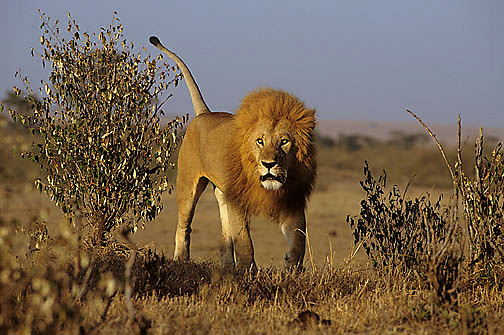African Lion, (Panthera leo) Mature male. Serengeti Plains. Masai Mara Game Reserve. Kenya. Africa.