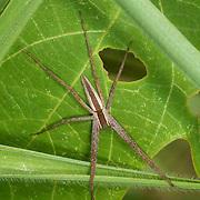 Nursery web spider. Family: PISAURIDAE