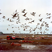 Seagulls in Utqiagvik, (formerly Barrow) Alaska, enjoying what's left of a bowhead whale caught by the Pamiilaq Crew in early October of 2016.