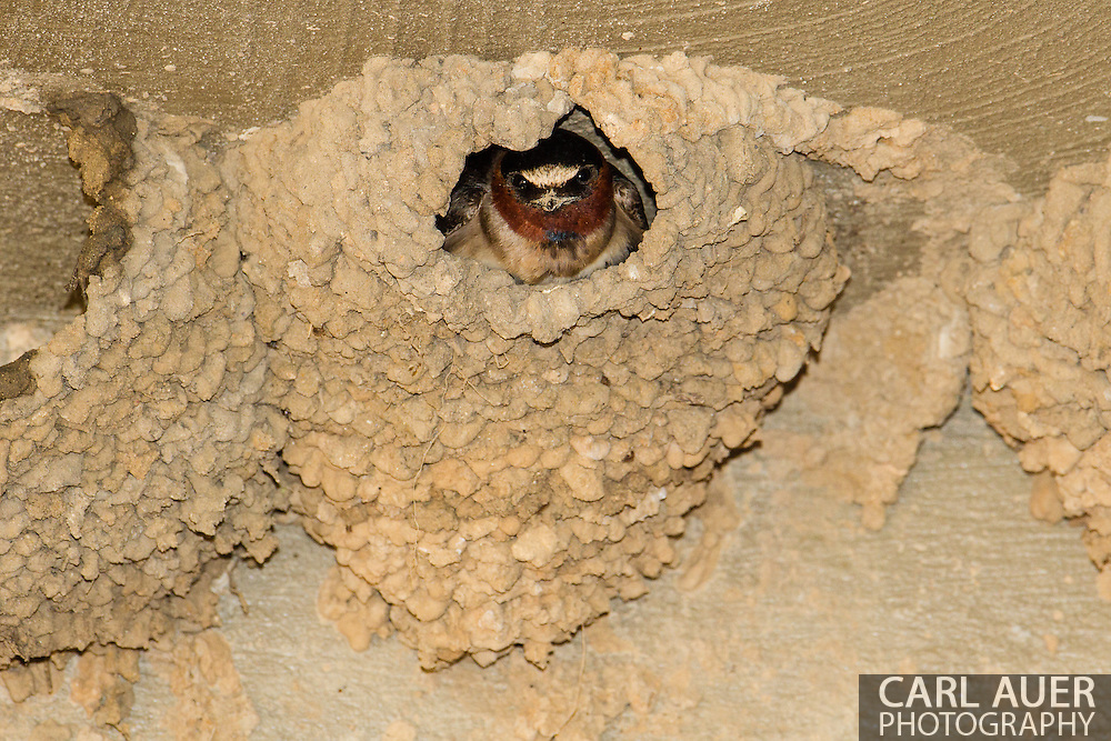 Nesting sparrows at the Majestic View Nature Center in Arvada, Colorado