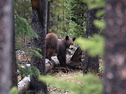 Price Chambers / JACKSON HOLE DAILY<br /> A grizzly cub glances back over its shoulder in Yellowstone National Park on Thursday morning. The bear crossed the road with its mother then quickly disappeared into the pines.
