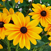 """""""Hidden""""<br /> <br /> A beautiful bunch of Black Eyed Susan's with their bold brown- black centers, and bright yellow petals hide from the intense summer sunlight under the shade of a bush!!<br /> <br /> Flowers and floral images by Rachel Cohen"""
