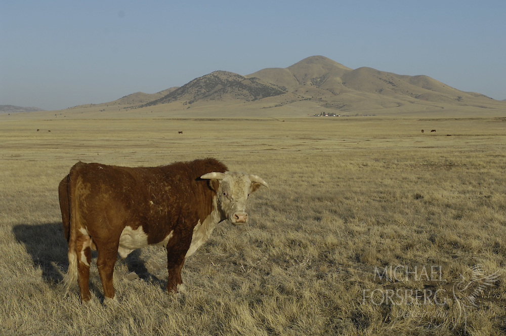 High Plains, shortgrass prairie region, Harding County, northeastern New Mexico....Bull in pasture on ranchland at the base of a dormant volcano.