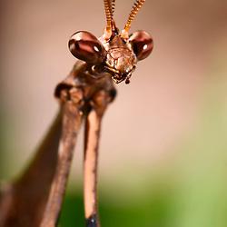 """""""Louva-a-deus (Mantodea) fotografado em Linhares, Espírito Santo -  Sudeste do Brasil. Bioma Mata Atlântica. Registro feito em 2014.<br /> <br /> <br /> <br /> ENGLISH: Praying mantis photographed in Linhares, Espírito Santo - Southeast of Brazil. Atlantic Forest Biome. Picture made in 2014."""""""