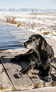 Labrador Retriever, elderly, female, lays in winter sun, Crazy Mountains, Montana, PROPERTY RELEASED