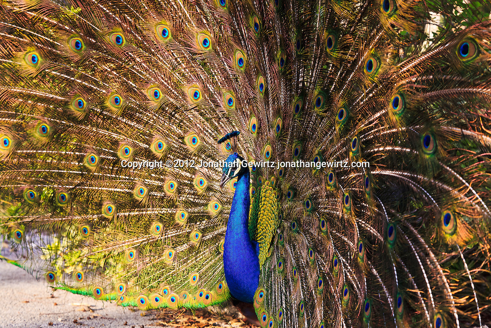A male Indian peafowl (Pavo cristatus), or peacock, spreads its feathers at Crandon Park, site of an open-air avian zoo on Key Biscayne, Florida. WATERMARKS WILL NOT APPEAR ON PRINTS OR LICENSED IMAGES.