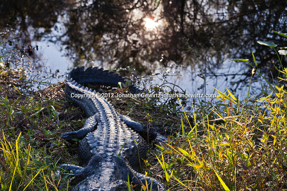 An American alligator (Alligator mississippiensis) rests on the bank of a canal next to the Shark Valley Trail in Everglades National Park, Florida. WATERMARKS WILL NOT APPEAR ON PRINTS OR LICENSED IMAGES.