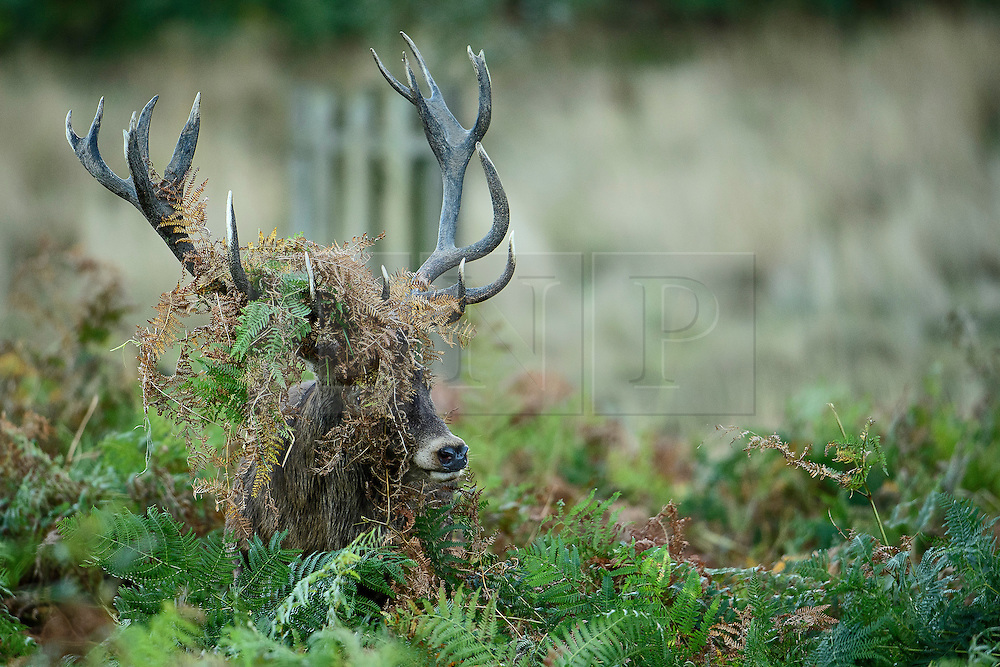 © Licensed to London News Pictures. 09/10/2016. London, UK. A deer stag with it's antlers covered in fern, at sunrise on a bright Autumnal morning in Richmond Park in London. Photo credit: Ben Cawthra/LNP