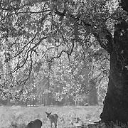 Grazing Deer Under Oak Tree - Yosemite Valley - Black & White