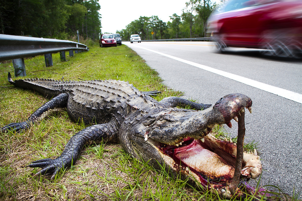 An alligator, apparently hit by a car, lies along the shoulder of the Tamiami Trail with a stick propping it's mouth open. The Tampa-to-Miami Tamiami Trail built more than 80 years ago, by  Miami entrepreneur Frank Jaudon has acted as a dam, causing hundreds of thousands of acres of land south of the road to dry out and sink as well as causing a hinderance to animal corridors between Big Cypress National Preserve and Everglades National Park. But now that construction has begun on a series of elevated roadways called the Everglades Skyway,  hopes are that traditional wildlife thouroughfares will be restored along with better water flow for the river of grass. .Photo by James Branaman