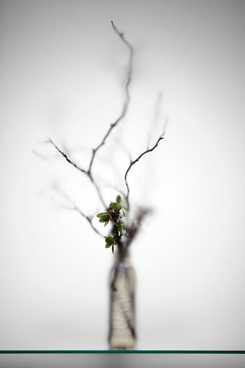 ikebana style twig and young green leaves