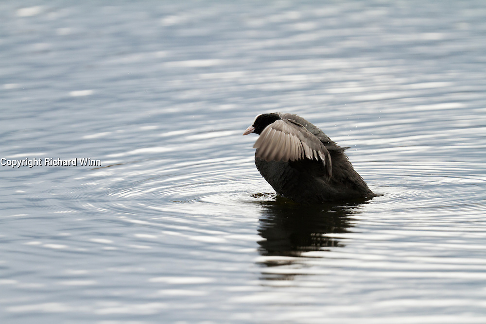 Eurasian coot (Fulica atra) flappiong its wings after diving on Loxton's Marsh on the RSPB reserve at Ham Wall.
