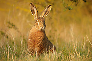European Hare (Lepus europaeus) adult alert in field margin, South Norfolk, UK. April