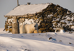 Polar bear (Ursus maritimus) in front of old trappers cabin at Akseløya in Belsund, Svalbard, Norway