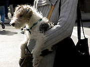 young woman holding her fox terrier dog in her arm