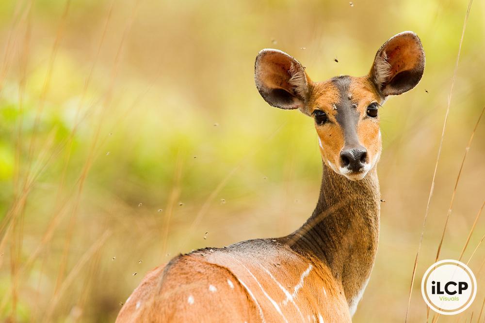 Bushbuck (Tragelaphus scriptus) female, Lope National Park, Gabon