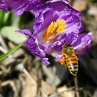 Honeybees on spring crocus. (Apis mellifera)
