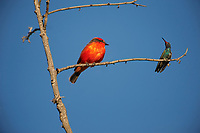 Vermilion Flycatcher (Pyrocephalus rubinus) and a Broad-billed Hummingbird (Cynanthus latirostris) perched on a small twig, San Juan Cosala, Jalisco, Mexico